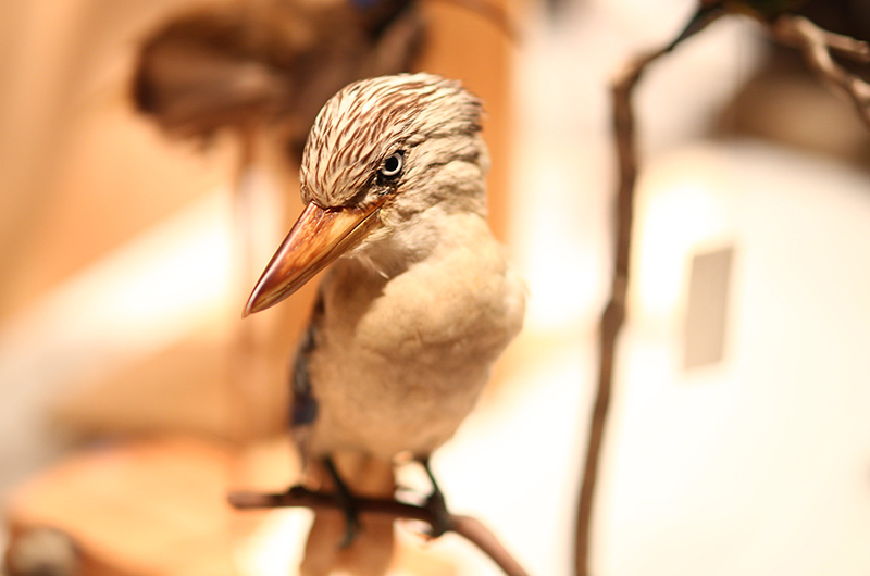 A kookaburra from the Academy of Natural Sciences collection, photographed by Jeff Fusco.