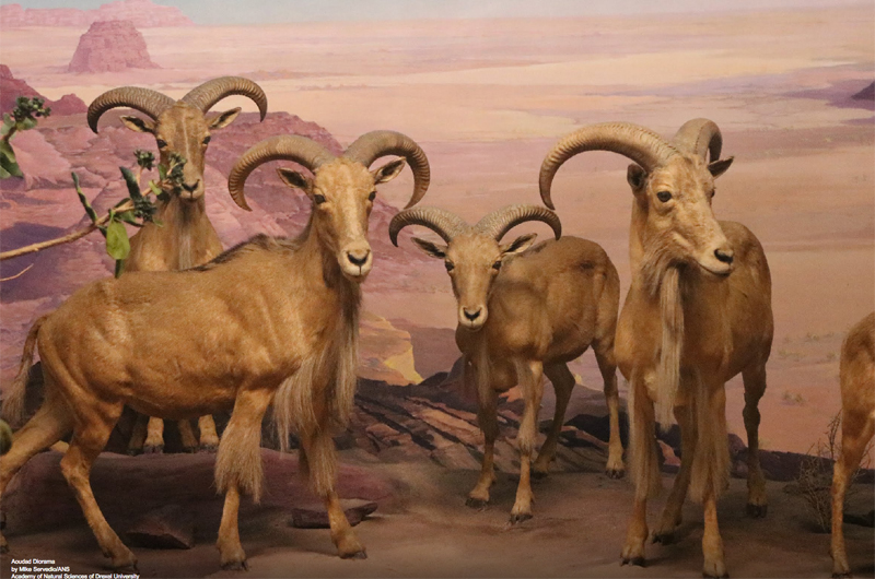 A diorama featuring four different aoudads, or Barbary sheep, a species native to North Africa.