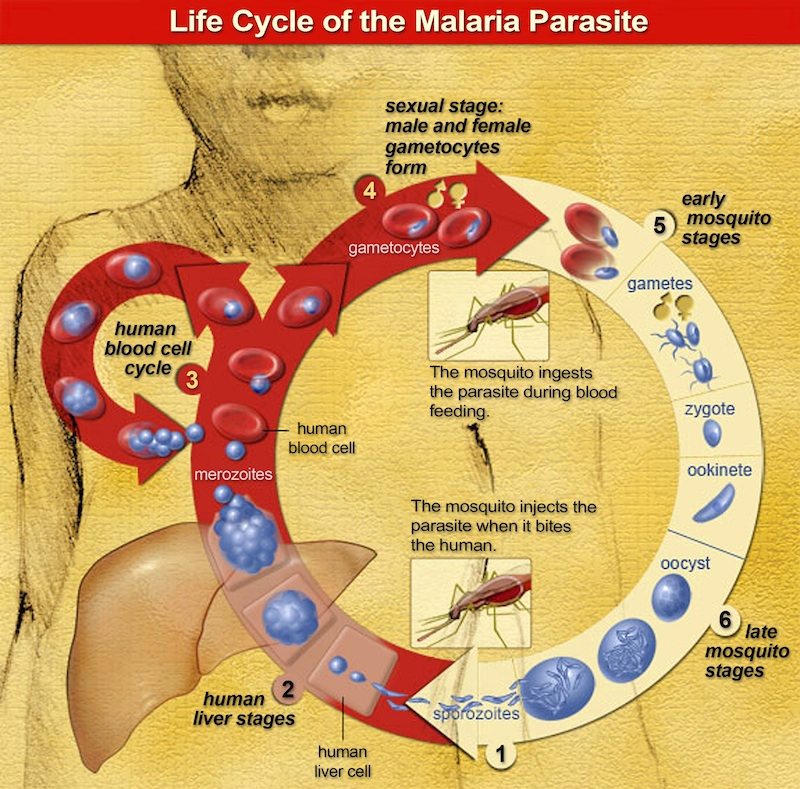 Malaria parasite lifecycle