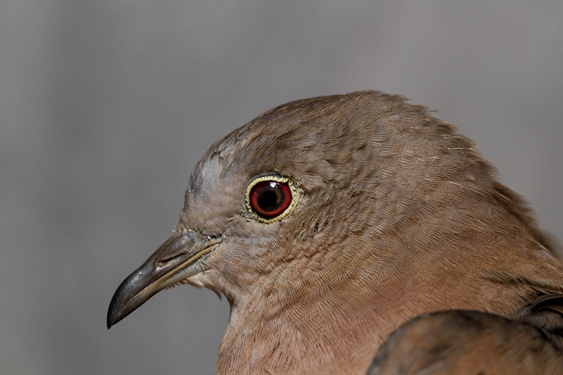 A close up of the Ruddy ground dove's head