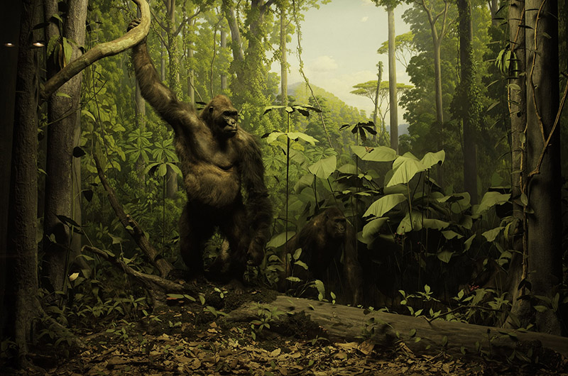 The gorilla diorama, which originally opened in 1938. Photo courtesy the Academy of Natural Sciences.