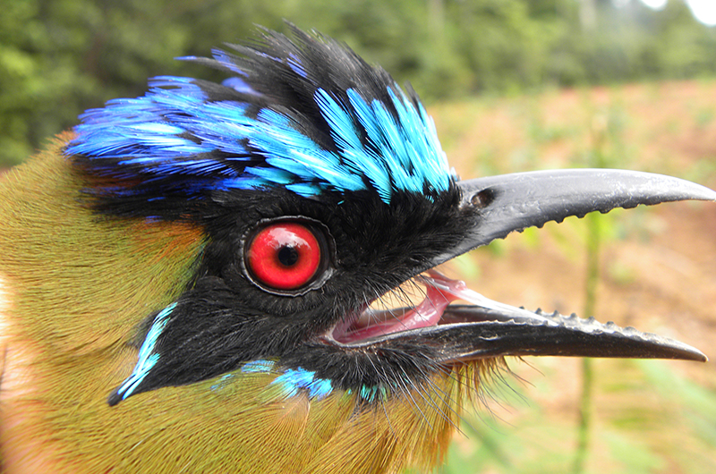A close-up of the Amazonian motmot bird's head
