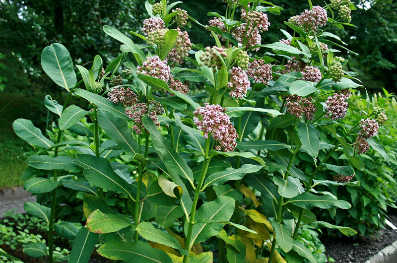Asclepias syriaca with flowers