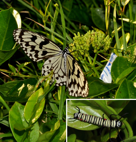A picture of a butterfly on a plant with an inset of the butterfly's larva on the same kind of plant.