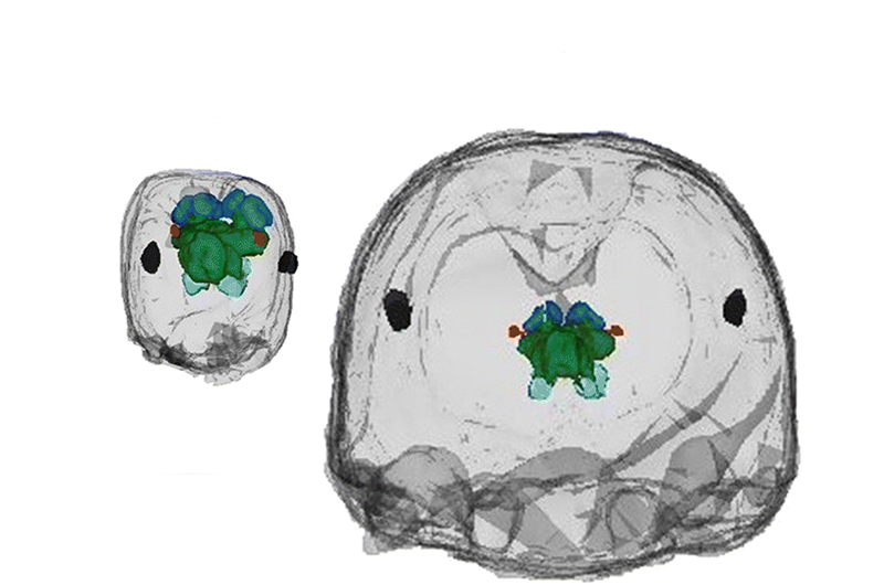 An X-ray view of the heads of a worker and a soldier ant and the brains inside their head. The worker is much smaller with the brain filling more of its head.