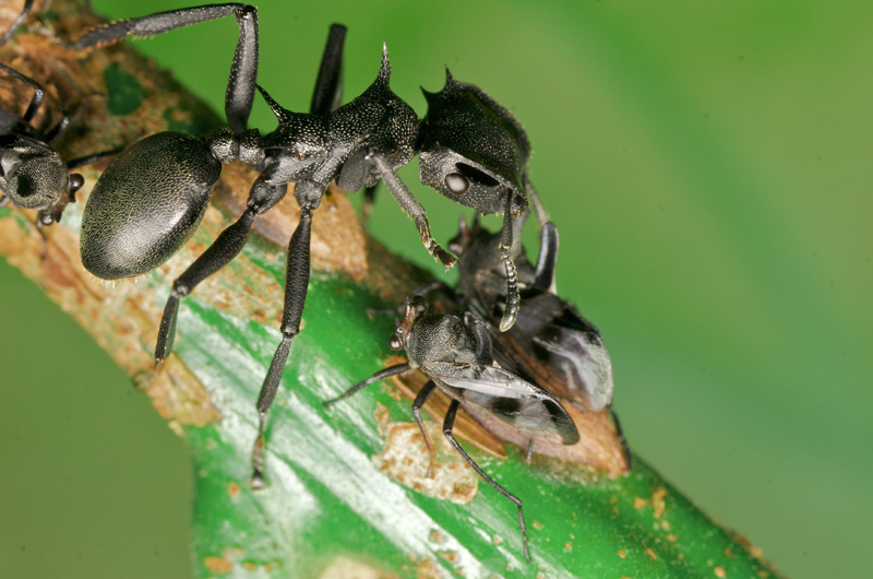 A turtle ant on a branch with another type of smaller bug