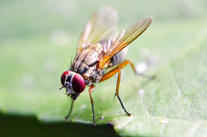 A fruit fly standing on a plant's leaf.