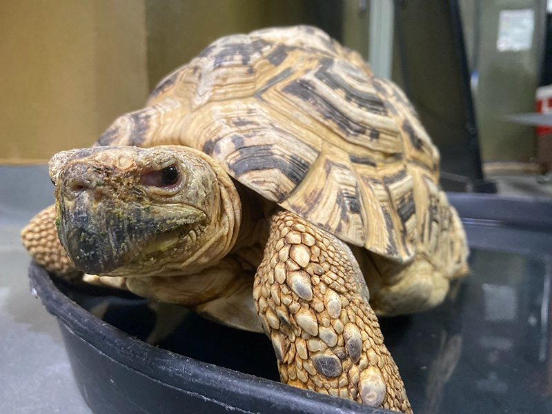 Leopard tortoise Ollie soaking in a tray of fresh water provided by staff.