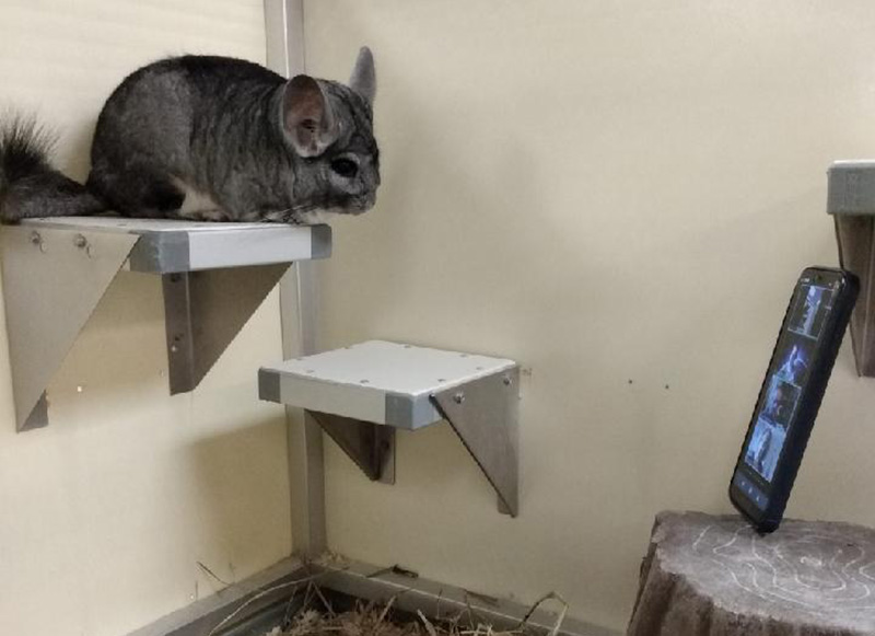 A Chinchilla named Poncho joining the Academy's first virtual all-staff meeting.